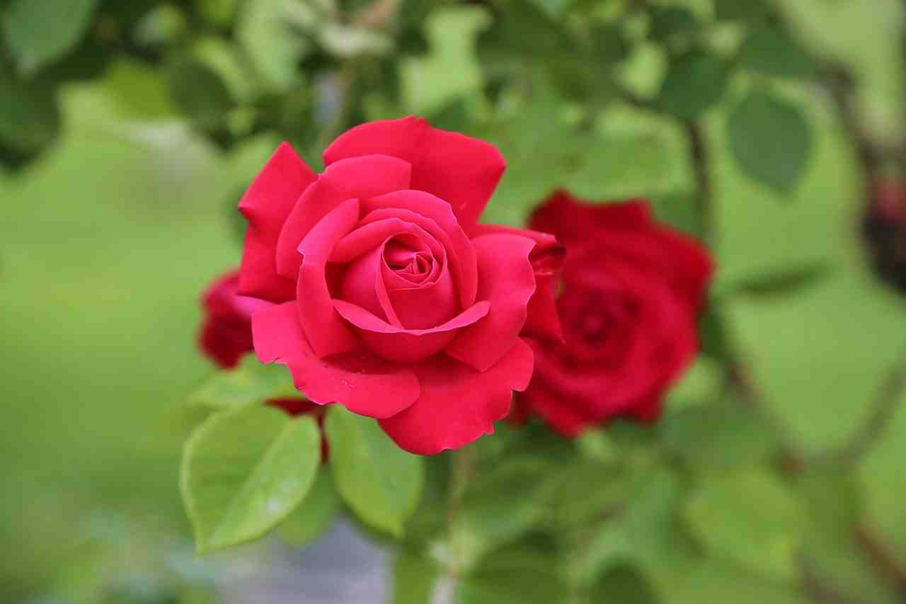 rose, rouge, la roseraie